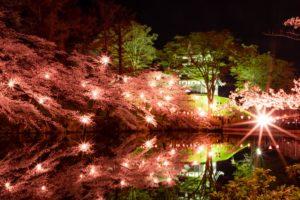 高田公園夜桜2