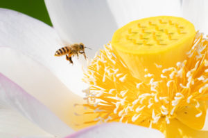高田城址公園の蓮と蜂